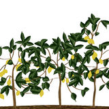 Lemon tree field Royalty Free Stock Images