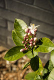 Lemon Tree Flower Buds Royalty Free Stock Photo