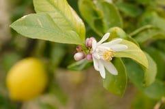 Lemon tree flowering Stock Photography