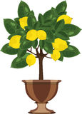 Lemon tree in a flowerpot vector illustration Royalty Free Stock Photography