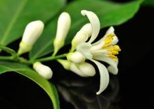 Lemon tree flowers royalty free stock image