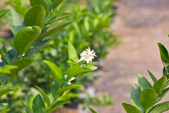Lemon tree flowers Royalty Free Stock Photography