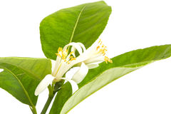 Lemon tree flowers. And leaves isolated on white Stock Photos