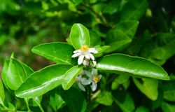Lemon tree flowers and leaves on a sunshine day. Lemon tree flowers and green leaves on a sunshine day stock images