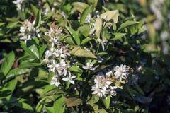 Lemon tree flowers Stock Photos