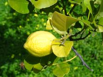 Lemon on tree. Fresh lemon on tree and bee stock photography