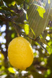Lemon tree with fresh lemon. And sunbeams Royalty Free Stock Photography