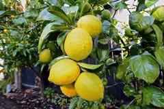 Lemon tree. Fresh ripe lemons on a lemon tree branch in sunny garden Royalty Free Stock Photography