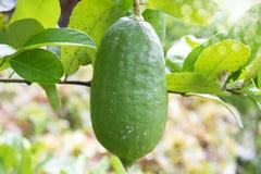 Lemon Tree fruit stock image