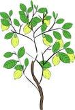 Lemon tree with fruit Stock Photos