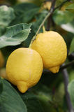 Lemon Tree With Fruits royalty free stock photography