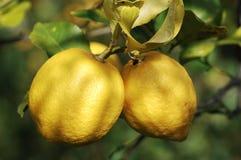 Lemon Tree With Fruits Stock Photos