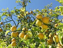 Lemon tree with fruits on branches. Detail of fruits on a lemon tree : yellow lemons, green leaves and blue sky Royalty Free Stock Images