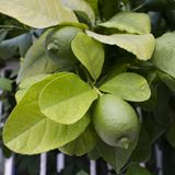 Lemon tree with fruits closeup. Square image royalty free stock photography