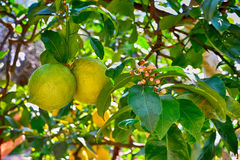 Lemon tree with fruits and flowers Stock Photo