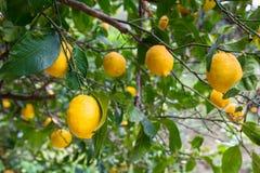Lemon tree with fruits Royalty Free Stock Photos