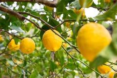Lemon tree with fruits Stock Image