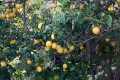 Lemon tree. With fruits in Mallorca Balearic islands Spain in winter Royalty Free Stock Images