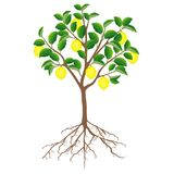 Lemon tree with fruits and roots on a white background. Lemon tree with fruits and roots on a white background, beautiful illustration Stock Photo
