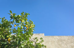 Lemon tree with fruits Royalty Free Stock Image
