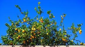 Lemon tree Stock Image