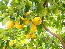 Lemon tree full of fruits. Backlit Royalty Free Stock Image
