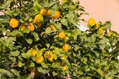 Lemon tree full of fruits Royalty Free Stock Images