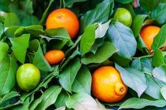 Lemon on tree. Lemon tree in the garden stock image