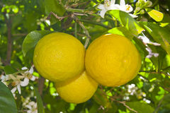 Lemon tree in a garden. Royalty Free Stock Photo