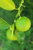 Lemon on tree in garden Royalty Free Stock Images