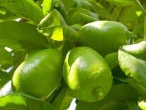 Lemon tree. Stock Photos