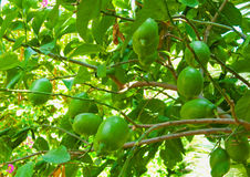 Lemon tree. Stock Photography