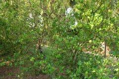 Lemon tree garden Stock Images