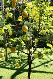 Lemon tree at Sorrento Italy. A lemon tree in a garden in Sorrento Italy. Sorrento is famous for lemons royalty free stock photos