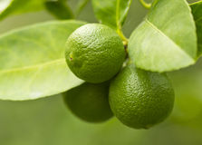 Lemon on the tree Stock Image