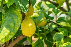 Lemon tree in the gardens of Tuscany