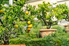 Lemon tree in the gardens of Tuscany