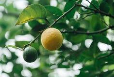Lemon on tree Royalty Free Stock Photography