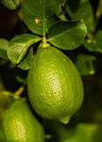 Lemon on tree Royalty Free Stock Image