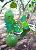Lemon on a tree Royalty Free Stock Photography
