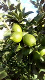 Lemon tree. Green fruits harvest Stock Photo