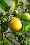 Lemon on tree green Stock Image