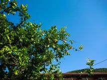 Lemon tree Royalty Free Stock Photo