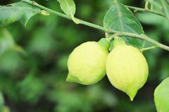 Lemon tree with green lemons Royalty Free Stock Photography