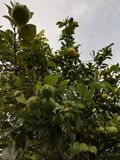 Lemon tree. With green lemons and green leaves stock photos