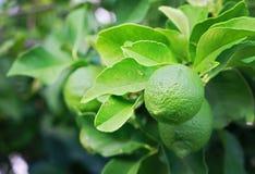 A lemon tree with green lemons. Nature background Stock Photos