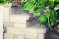 A lemon tree with green lemons. Vintage image. Nature background Stock Images