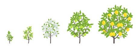 Lemon tree growth stages. Vector illustration. Ripening period progression. Fruit tree life cycle animation plant seedling. Lemon. Increase phases. Flat vector vector illustration