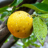 Lemon in the tree Royalty Free Stock Photography