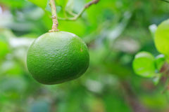 Lemon. On tree before harvest Stock Image